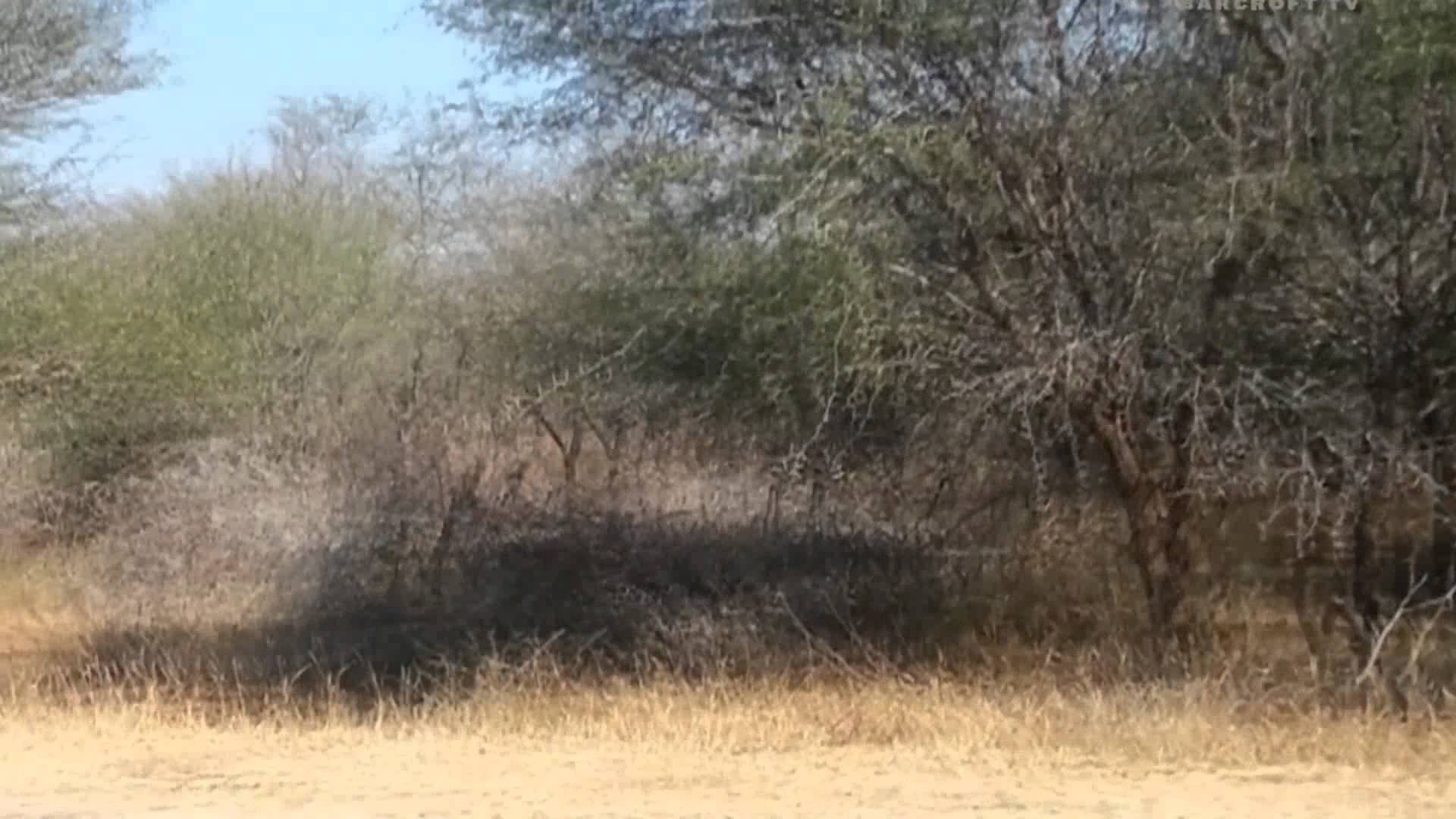 fleeing impala takes advantage of window of opportunity to outwit hungry cheetahs