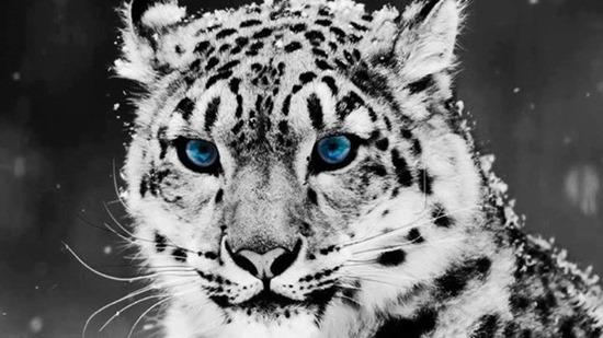 blue eyed feline thumb