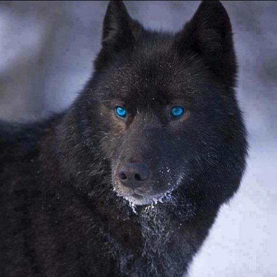 blue eyed wolf thumb