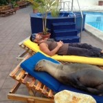 Seal sleeping on lounger