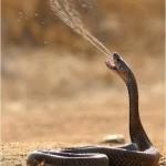 Snake spitting venom