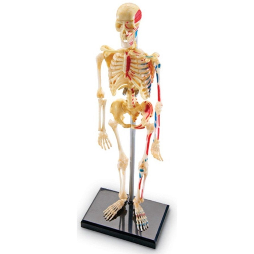 Medically Accurate 4D Skeleton Anatomy Model